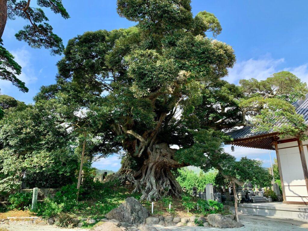 称名寺のシイノキ