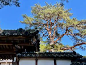 屋根瓦と東昌寺のアカマツ