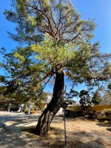 境内に聳える赤松