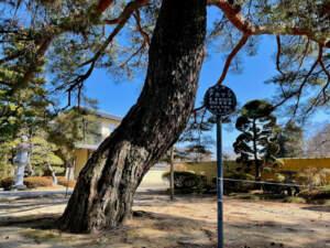 仙台市保存樹木 東昌寺の赤松