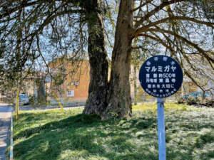 国指定天然記念物 東昌寺のマルミガヤ