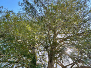 仙台市保存樹木 東昌寺の丸美がや