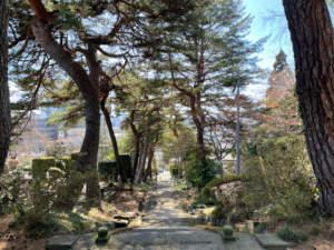 参道の赤松並木