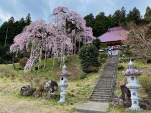 種まき桜と慈徳寺 本堂