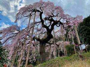 市指定天然記念物 慈徳寺の種まき桜