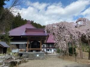 鐘楼と種まき桜