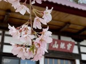 種まき桜と本堂